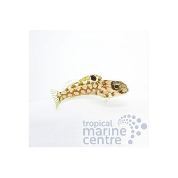 Leopard Jawfish