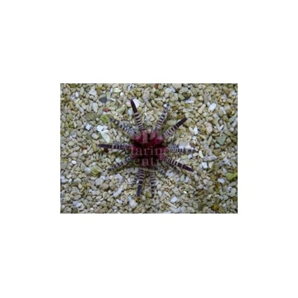 Red Banded Mine Urchin