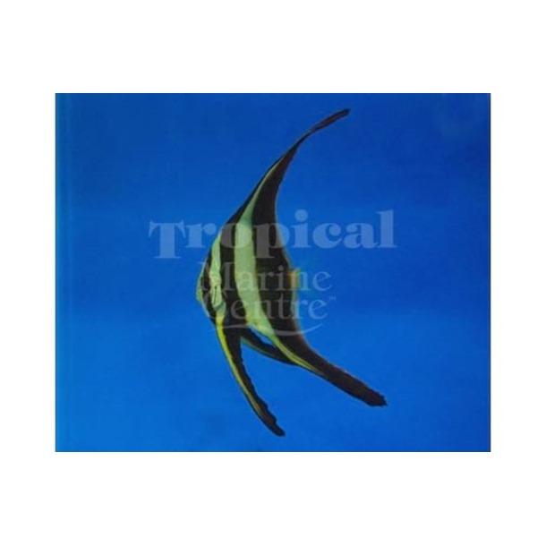 Long Fin Batfish