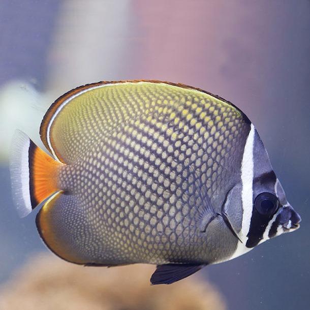 Collare Butterflyfish
