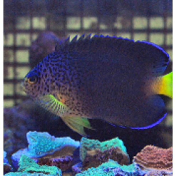 Blue Mauritius Dwarf Angel Fish