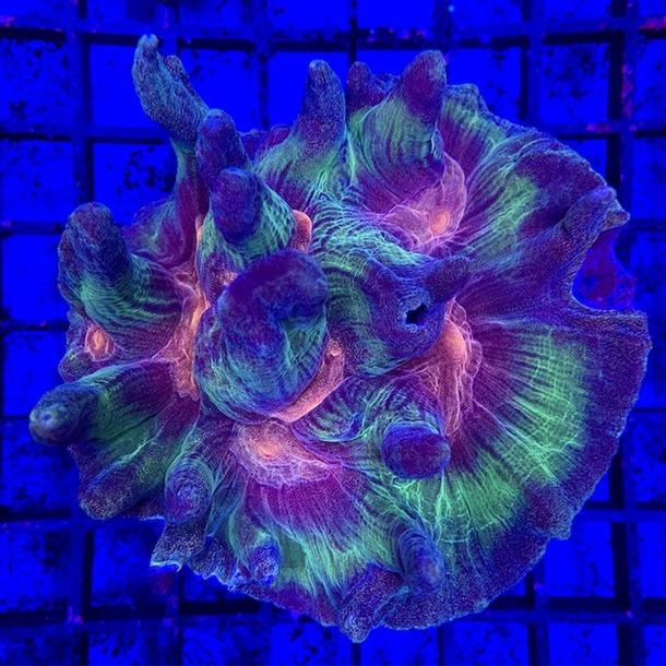 Rainbow Lettuce Coral