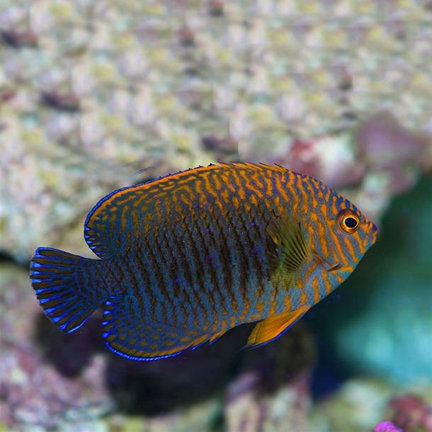 Potters Dwarf Angel Fish