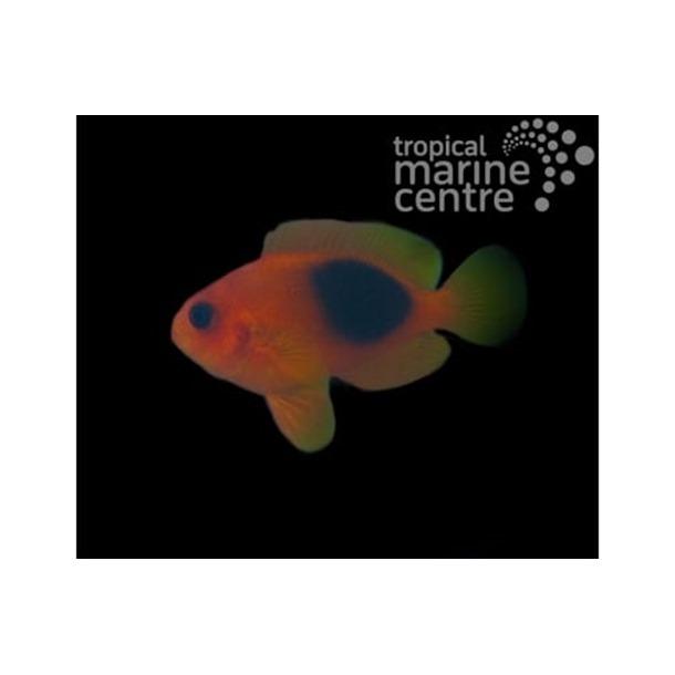 Saddle Tomato Clownfish