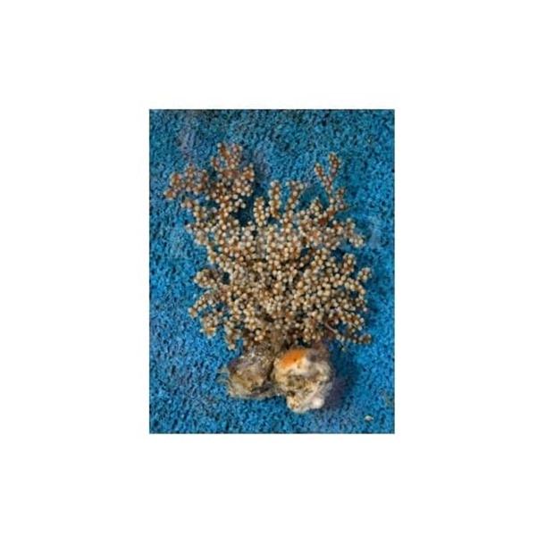 Blueberry Gorgonia