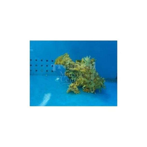 Sargassum Angler Fish