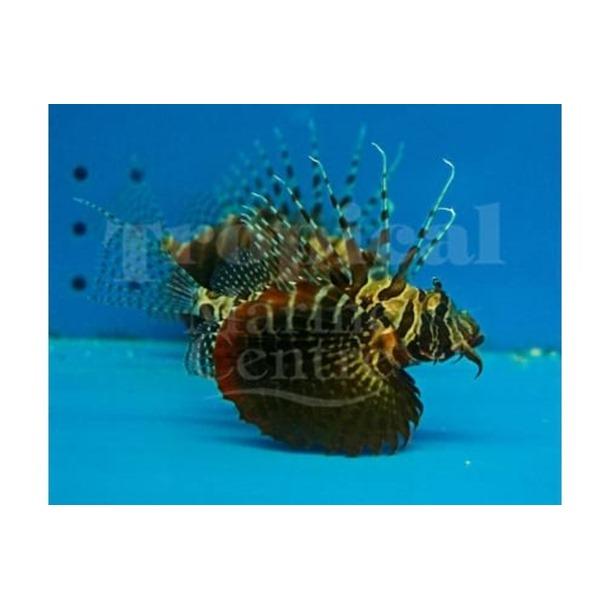 Black Foot Lionfish