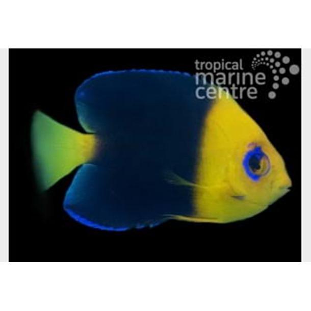 Cocos Pygmy Dwarf Angel Fish