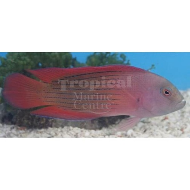 Giant Lined Dottyback