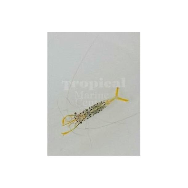 Yellow Crystal Shrimp
