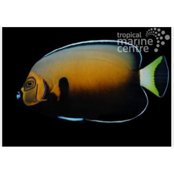 Conspic Angel Fish