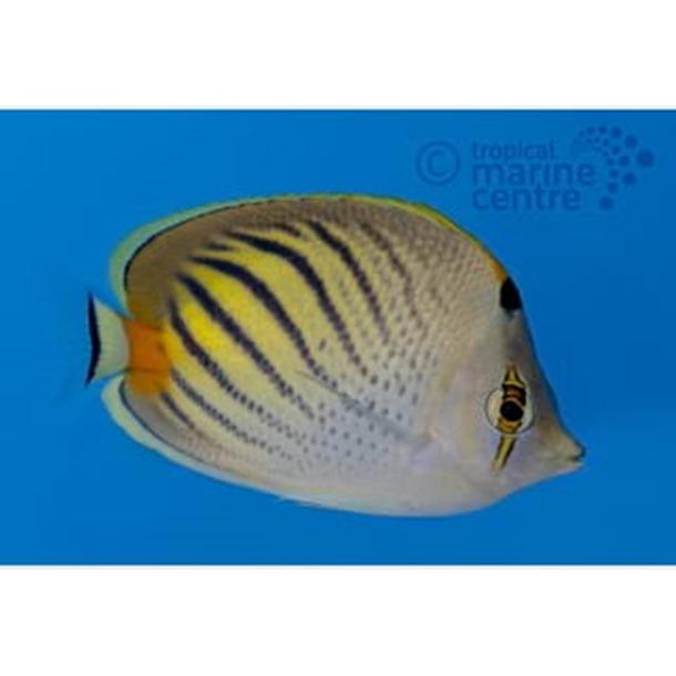 Dot Dash Butterflyfish