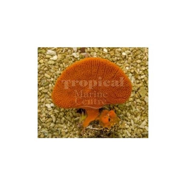 Orange Fan Sponge