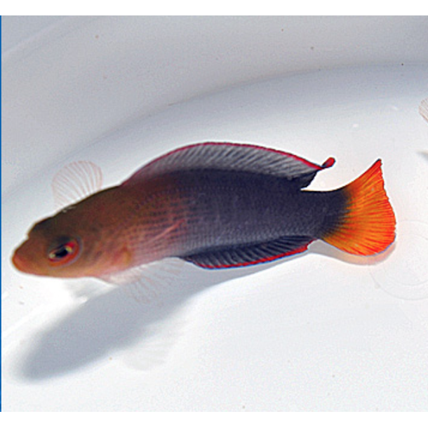 Dilectis Dottyback