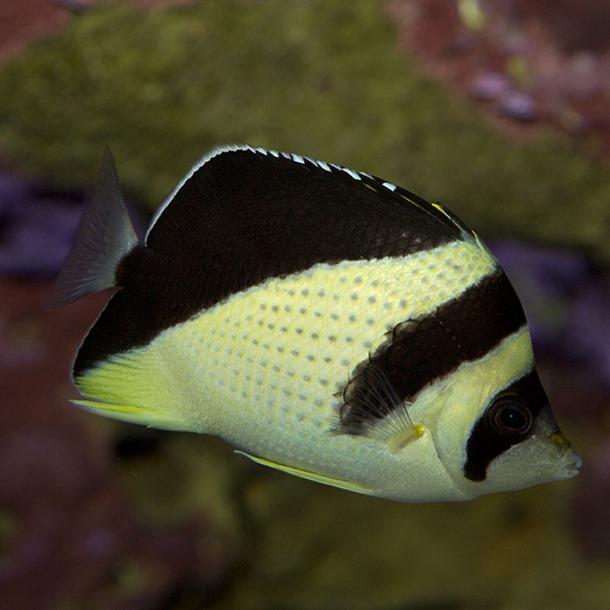 Burgess Butterflyfish