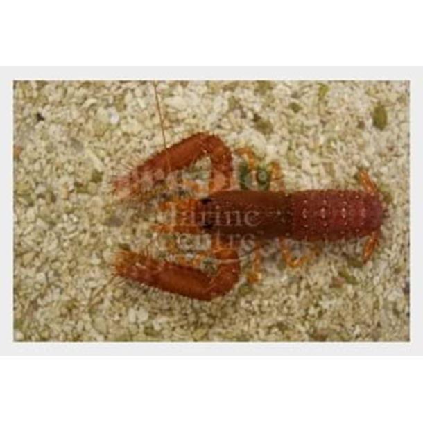 Scarlet Reef Lobster