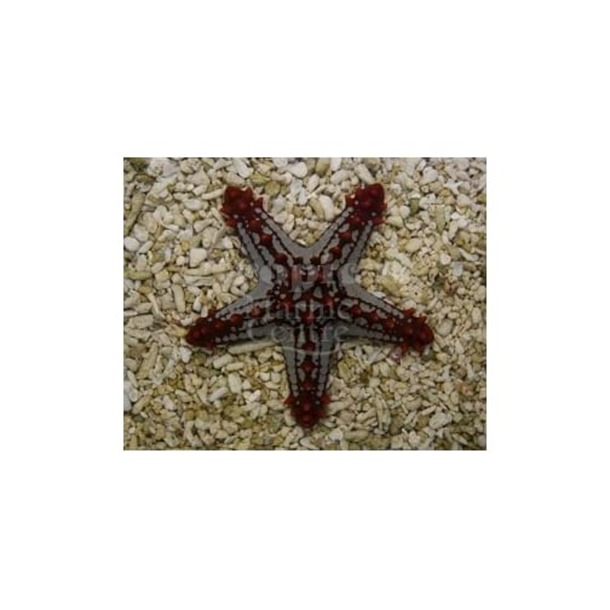 Red Knobbly Starfish