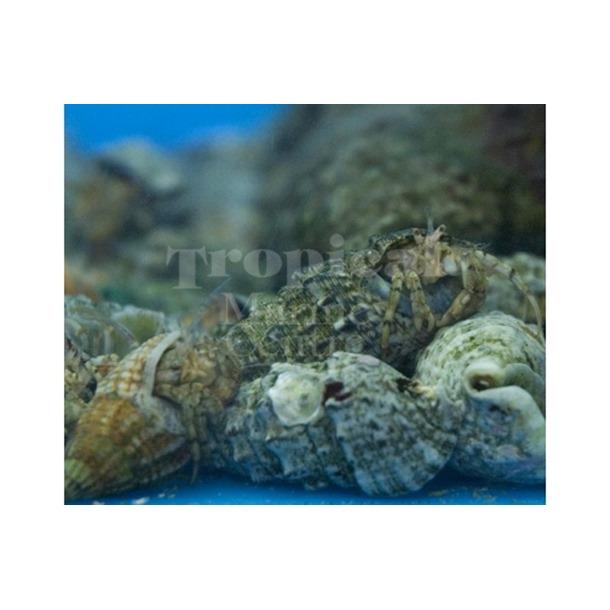 Algae Hermit Crab