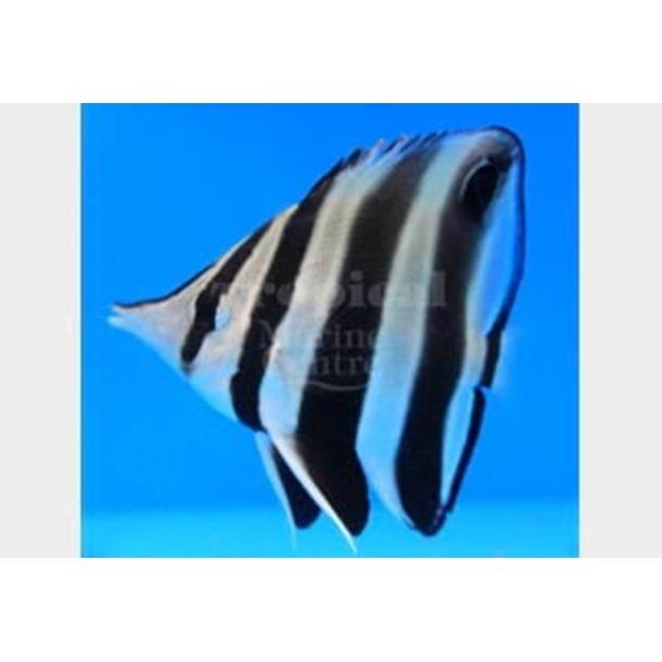 Truncate Butterflyfish