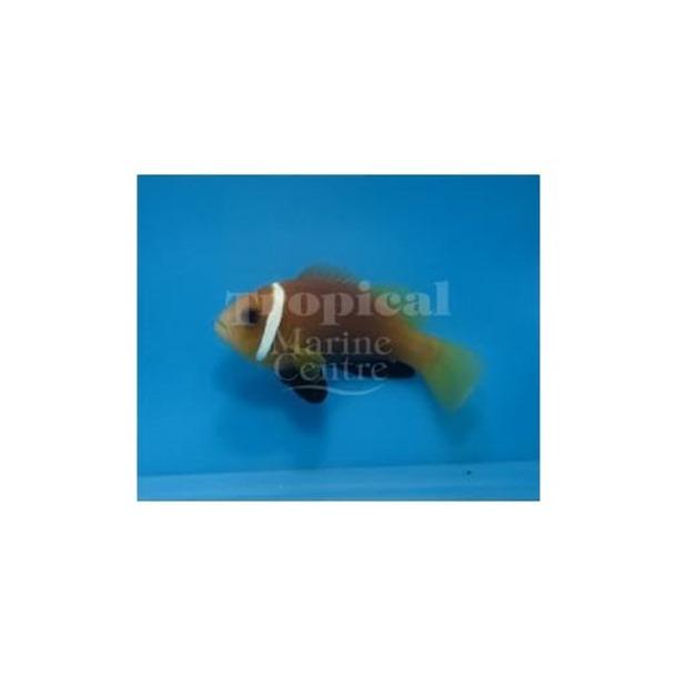 Maldive Skunk Clownfish
