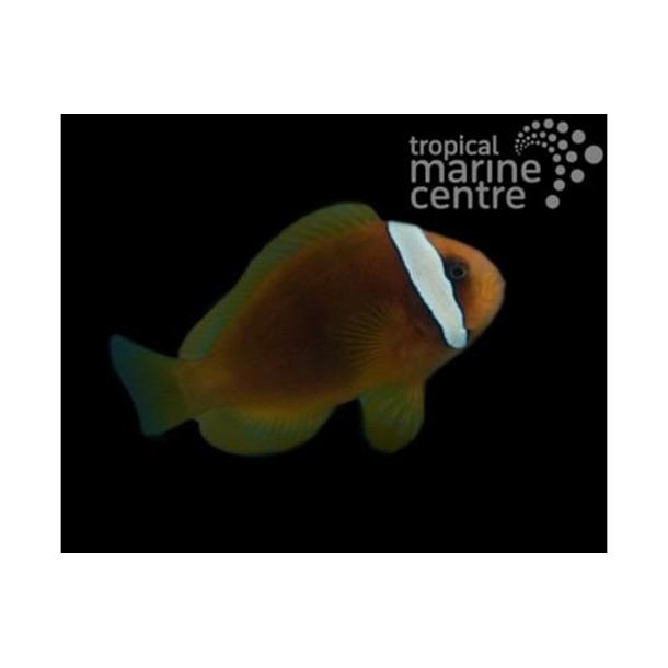 Red Tomato Clownfish