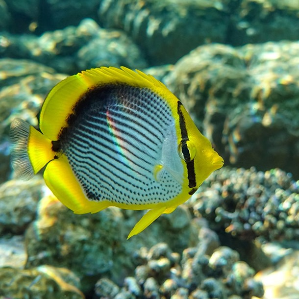 Black Back Butterflyfish