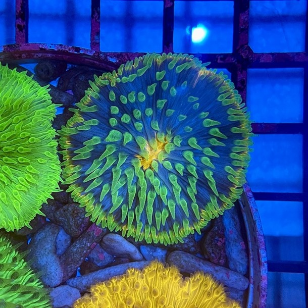 Ultra Plate Coral