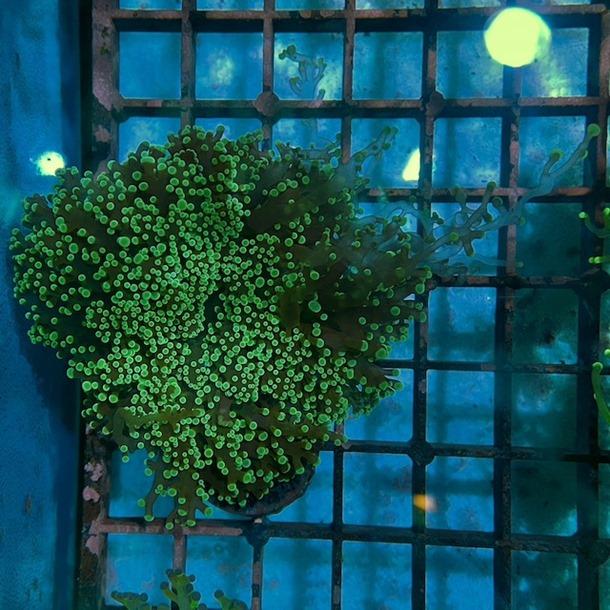 Frogspawn Colony