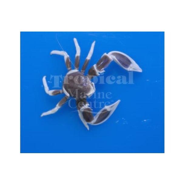 Pink Anemone Crab