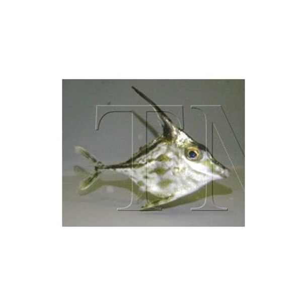 Short Tail Tripodfish