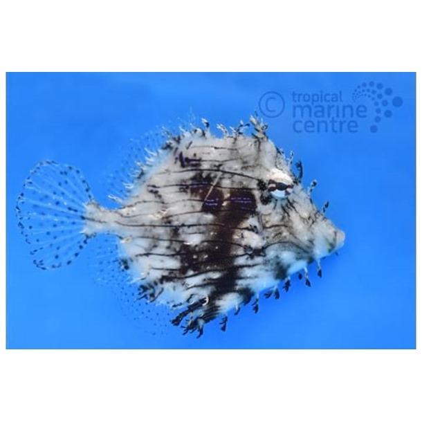 Tassel Filefish