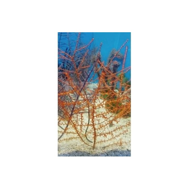 Red Tree Gorgonia