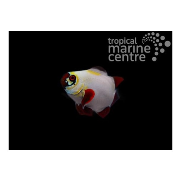 Gold Nugget Maroon Clownfish