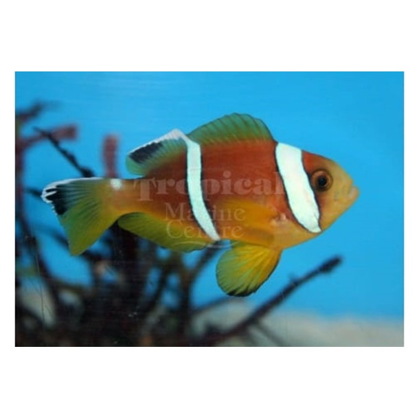 Two Band Clarkii Clownfish