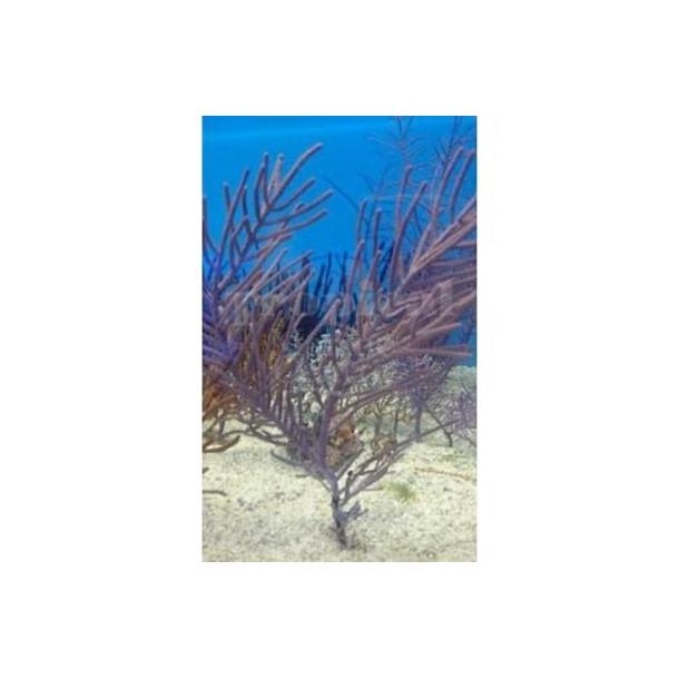 Purple Tree Gorgonia
