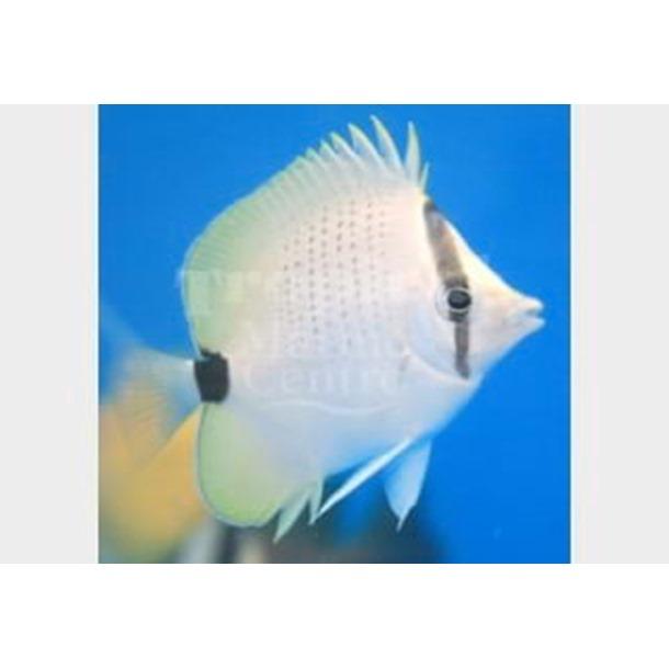 Lemon Butterflyfish