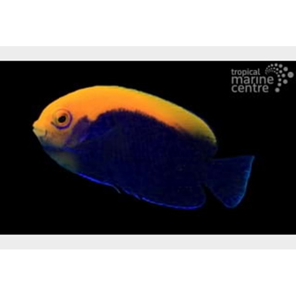 Flameback Dwarf Angel Fish