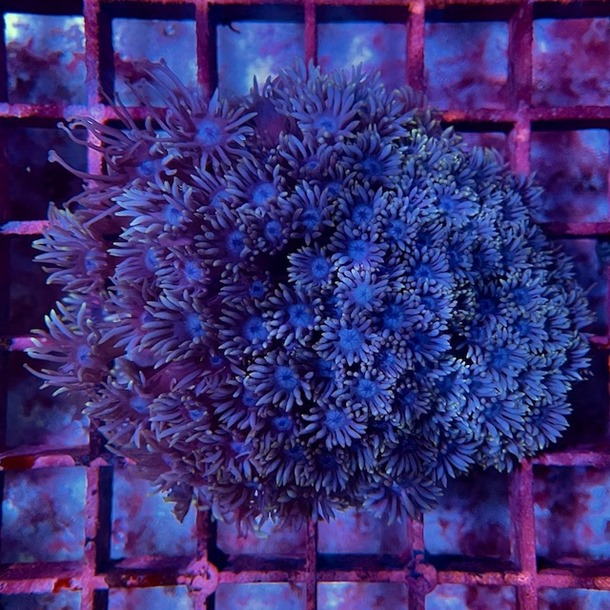 Blue Goniopora