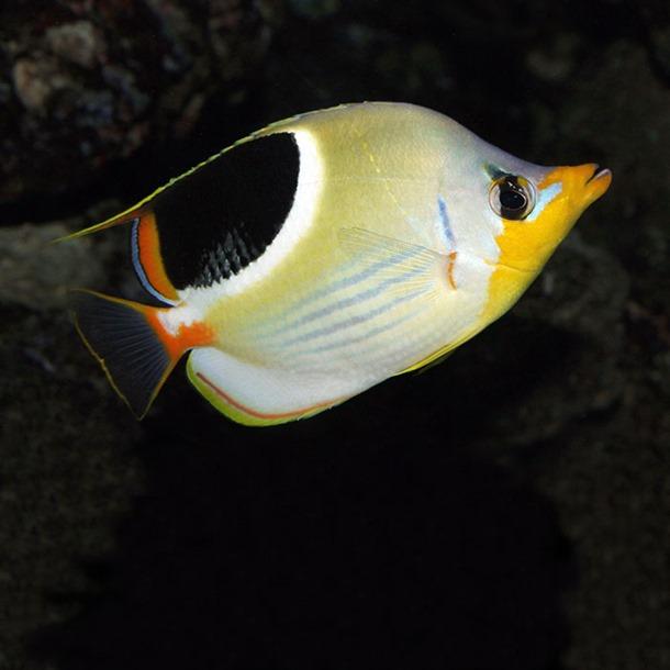Saddleback Butterflyfish
