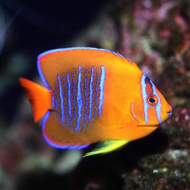Clarion Angel Fish