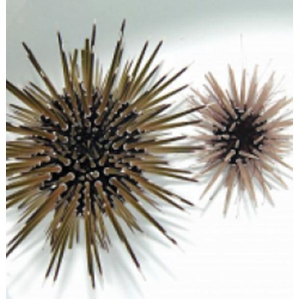 White Spot Urchin