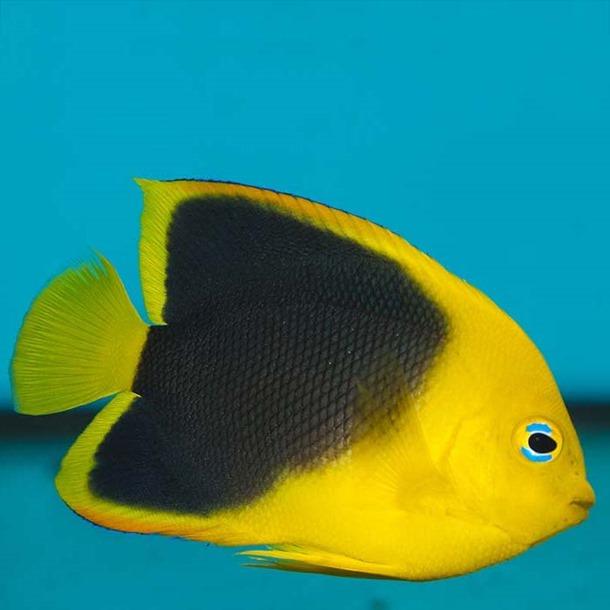 Rock Beauty Angel Fish