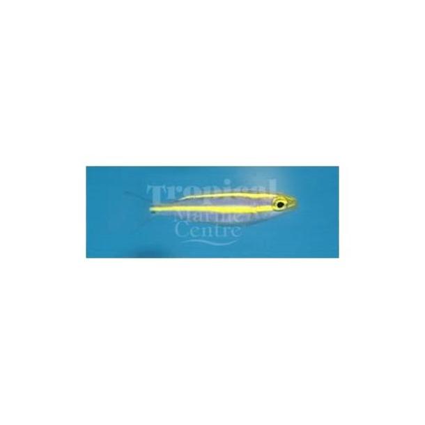 Blue Whiptail