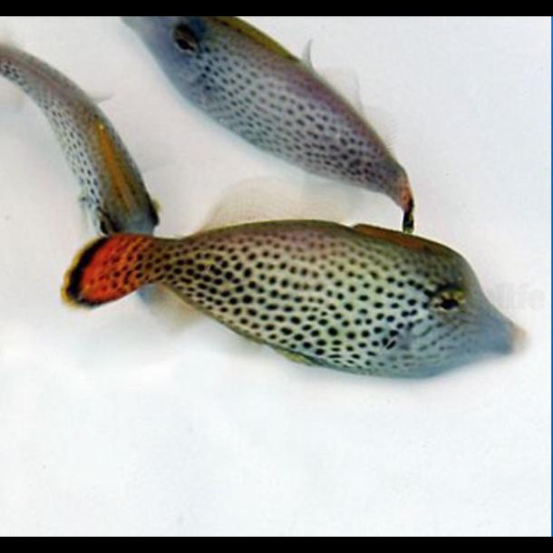 Fan Tail Filefish