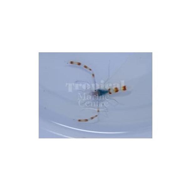 Blue Boxer Shrimp