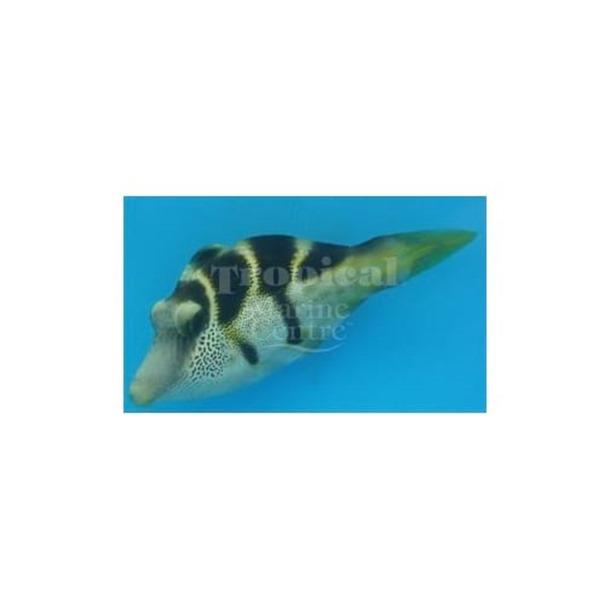 Mimic Filefish