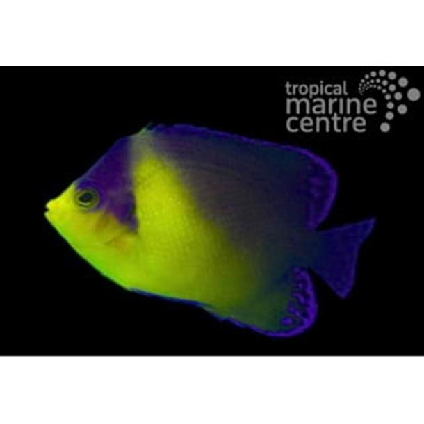 Venusta Dwarf Angel Fish
