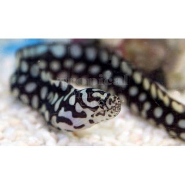 Skeletor Pebbletooth Moray Eel