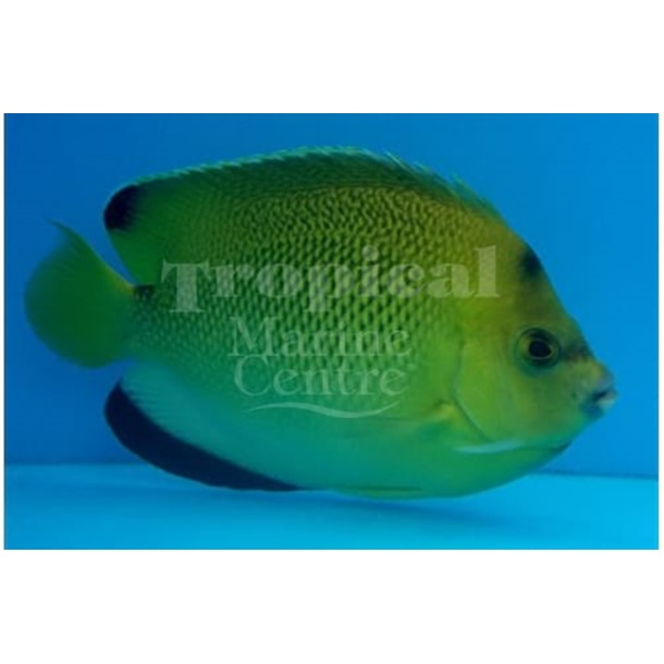 Armitage Angel Fish