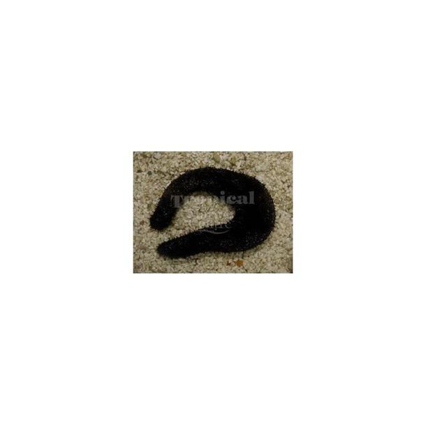 Black Sea Cucumber